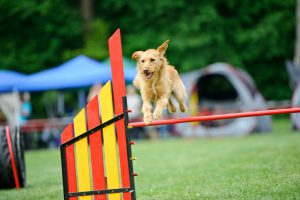 dog jumping on a dog agility course