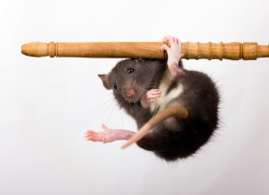 The black baby rat hangs on a pipe