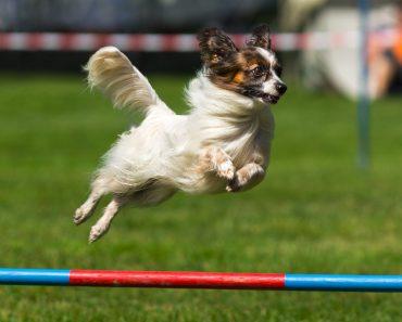 agility koira dog